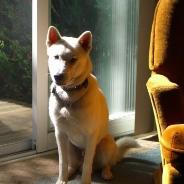 A white Kishu Ken is sitting on a carpet next to a sliding glass door.