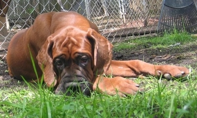A brown Korean Dosa Mastiff is laying down in a dirt patch surrounded by grass. There is a chain link fence and a green rake behind it