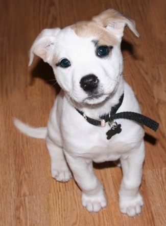 A small white with tan Labahoula puppy is wearing a black collar sitting on a hardwood floor looking up.