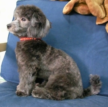 Left Profile - A shaved, grey with white Lhasa-Poo is sitting on a couch and looking to the left.