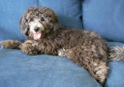 A curly, brown with grey Lhasa-Poo dog is laying on a blue couch and its mouth is open and tongue is out.