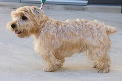 Side view - A tan Luca Terrier dog is standing on a sidewalk. Its tongue is out