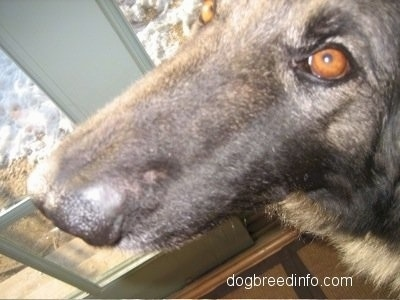 Close Up - The muzzle of a Shepherd dog with the black fur growing back