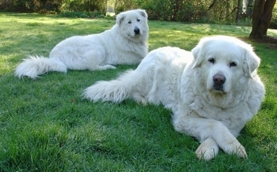 Two white Maremma Sheepdogs are laying in grass and looking forward. They look like big teddy bears.