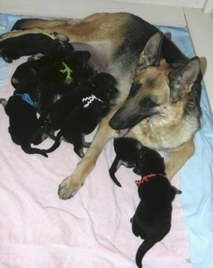 A litter of GSD puppies being fed by there Dam