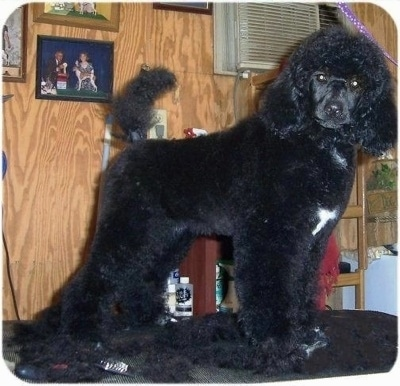 A black with white Klein Poodle is standing on a grooming table. The table is covered with the dog's hair