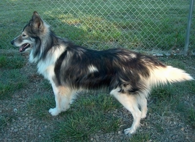 Left Profile - A long-haired, perk-eared, grey with tan and white Native American Indian Dog is standing in grass in front of a chain link fence. Its mouth is open and its tongue is out.
