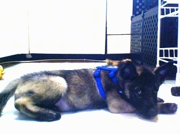 Side view - A grey with black Norwegian Elkhound puppy is wearing a blue harness laying down in a kitchen looking towards the camera.