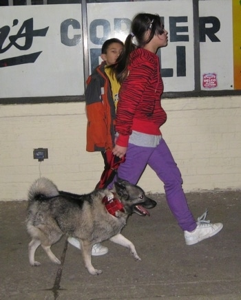 A grey with black Norwegian Elkhound is walking with a girl and a boy on a sidewalk next to a corner deli store.