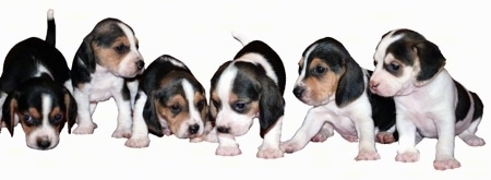 A litter of 6 Olde English Pocket Beagle Puppies are all lined up in a row. The background of the image is white.