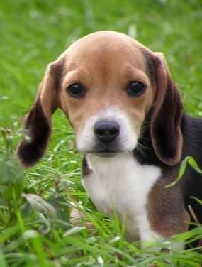 Close up head and upper body shot - A tricolored, drop-eared black with tan and white Pocket Beagle puppy is standing in tall grass looking forward.