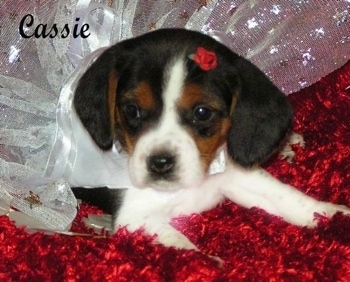 Front view - A black and tan with white Pocket Beagle puppy is laying on a shiny, red fluffy surface with white lace over its back. It has a tiny rose in its head and it is looking to the left. The word - Cassie - is overlayed in the top left of the image.