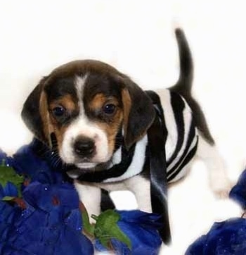 Front side view - A black and tan with white Pocket Beagle puppy is standing on a blue surface looking forward wearing a black and white striped shirt. Its tail is up.