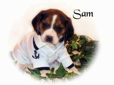 Front side view - A black and tan with white Pocket Beagle puppy is wearing a sailors costume looking forward with its head tilted to the right.