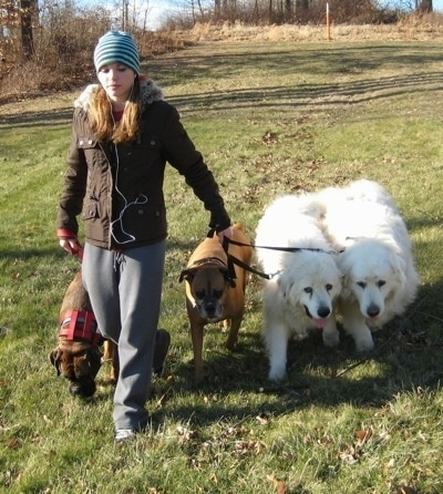 A blonde-haired girl is leading a pack walk with 4 dogs, heeling next to her, in a field.