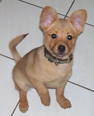 A short-haired red Pomchi puppy is sitting on a white tiled floor and it is looking up.