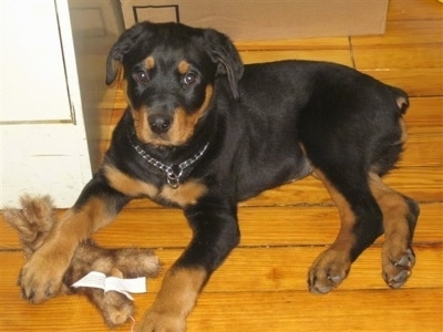 A black with brown Rottweiler is laying across a hardwood floor and it is looking up. It has its front left paw on top of a fuzzy plush rabbit toy. The dog is wearing a choke chain collar.