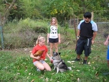 A blonde-haired girl has a chicken under her arm and in front of her is a sitting black, grey and white Norwegian Elkhound. There are three people around them looking at the dog.
