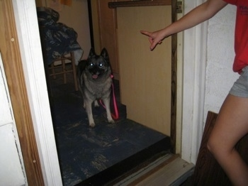 A black, grey and white Norwegian Elkhound is standing in front of a door and a person in a red shirt has there arm out as to tell the dog not to go through the door.