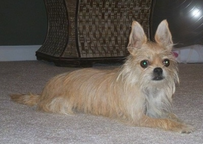 Front side view - A tan with white Silkin is laying across a carpet and it is looking forward. The dog has longer hair on its face and chin and large perk ears that stand up to a point. Its wide round eyes are brown.