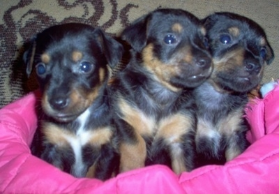 Three black with tan and white Silky-Pin puppies are sitting lined up in a row inside of a small basket lined with a hot pink blanket.