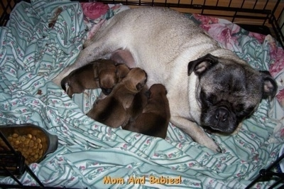 A tan with black Pug is laying on a green blanket in a crate nursing her litter of newborn Silky Pug puppies. There is a bowl of dry kibble in front of her.