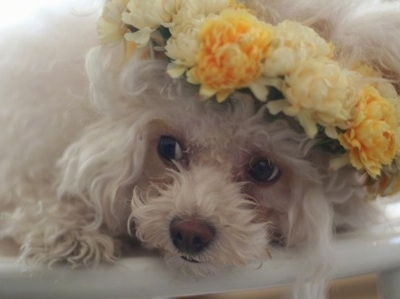 Close up - A small, fluffy, soft white Teacup Poodle with a flower halo around its head is laying down on a bed and it is looking to the left.