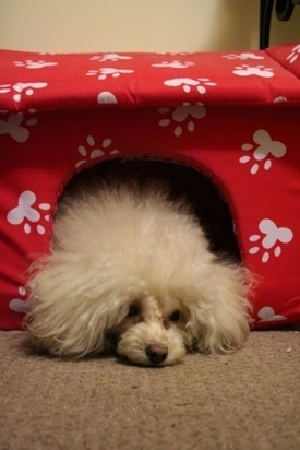 A fluffy, white Teacup Poodle dog laying down on a carpet and its head is sticking out of an indoor dog house.