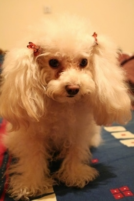 Close up front view - A white Teacup Poodle is wearing two ribbons above its ears, it is standing on a bed and it is looking forward. The dog has long fluffy, soft ears.