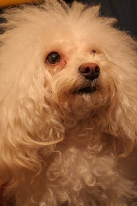 Close up head shot- A white Teacup Poodle dog looking up and to the right. The dog has a brown nose and fluffy soft hair.