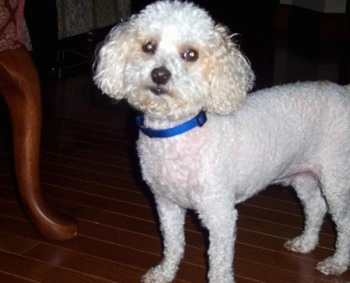 The front left side of a shaved white Toy Poodle that is standing across a hardwood floor, it is looking forward and its head is slightly tilted to the right. It has longer fluffy hair on its head with dark round eyes, a black nose and black lips.