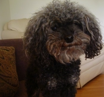 Close up head and upper body shot - A black Toy Poodle dog standing on a hardwood floor, its head is slightly tilted to the left and it looks like it is smiling. It has long wavy-coated drop ears.