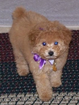 A fluffy little Apricot Toy Poodle puppy standing on a rug, wearing a purple ribbon and it is looking forward.