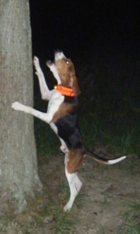The left side of a tricolor, brown and black with white Treeing Walker Coonhound dog jumped up at the side of and barking up a tree. The dog has a long tail.