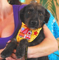 Close up - A black Terrier mix wearing a yellow bib is being held in the arms of a person in a purple shirt.