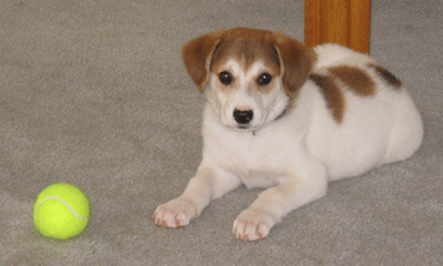 The front left side of a white with brown Australian Retriever puppy that is laying across a carpet, next to a tennis ball and it is looking forward.