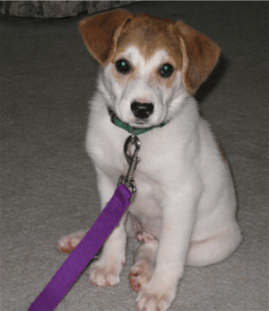 A white with brown Australian Retriever Puppy that is sitting on a carpet and it is looking forward.