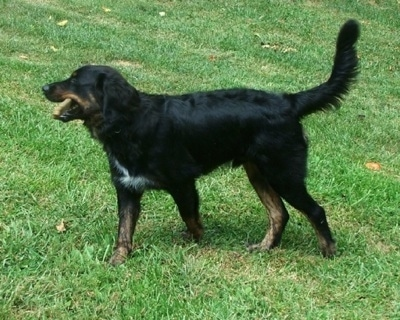 The left side of a black with tan and white Australian Retriever that is walking across a yard with its tail up and its mouth open.