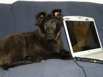 Indy the Belgium Shepherd as a puppy laying next to a laptop computer on a couch