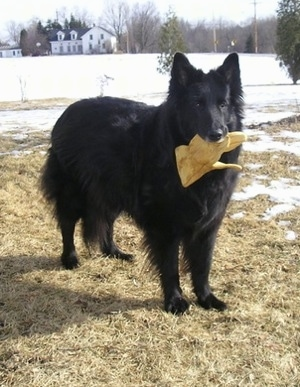 A large black, longhaired Belgium Shepherd standing outside with snow behind him and a work glove in his mouth