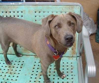 Blue Lacy standing on a rusted mint green chair