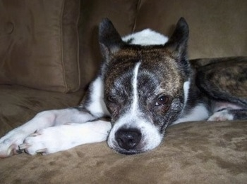 Close Up - A brindle with white Boskimo is laying down on a couch and it is looking forward.