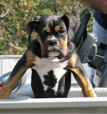 Loomis the Boxer puppy climbing out of a vehicle looking tough with a wide chest and serious face