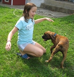 A girl in a blue shirt is kneeling in grass and in front of her is a brindle with white Boxer puppy. They are playing with each other.