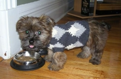 Grizzly the Care-Tzu as a puppy is wearing a sweater on a hardwood floor and eating out of a dog bowl