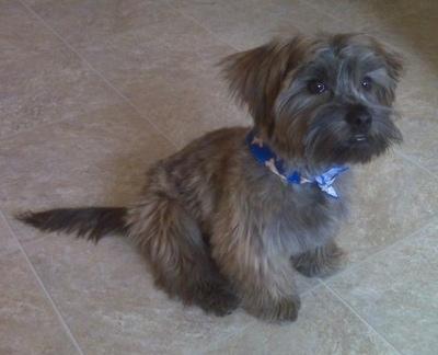 Grizzly the Care-Tzu is wearing a blue bandana with bones on it. He is sitting on a tiled floor in a kitchen
