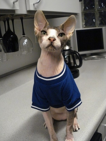 Cyrus the Sphynx cat is wearing a blue t-shirt and sitting on a countertop in front of a coffee pot, hanging wine glasses and white cabinets with a TV in the corner