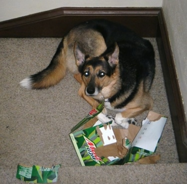 Pepper the German Shepherd/Collie Mix is sitting on a staircase and laying behind a chewed up Mountain Dew box