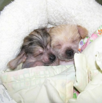 Two Chi Chi puppies sleeping together on a white dog bed and wrapped in blankets