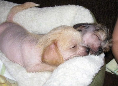 Two Chi Chi Puppies sleeping together on a dog bed